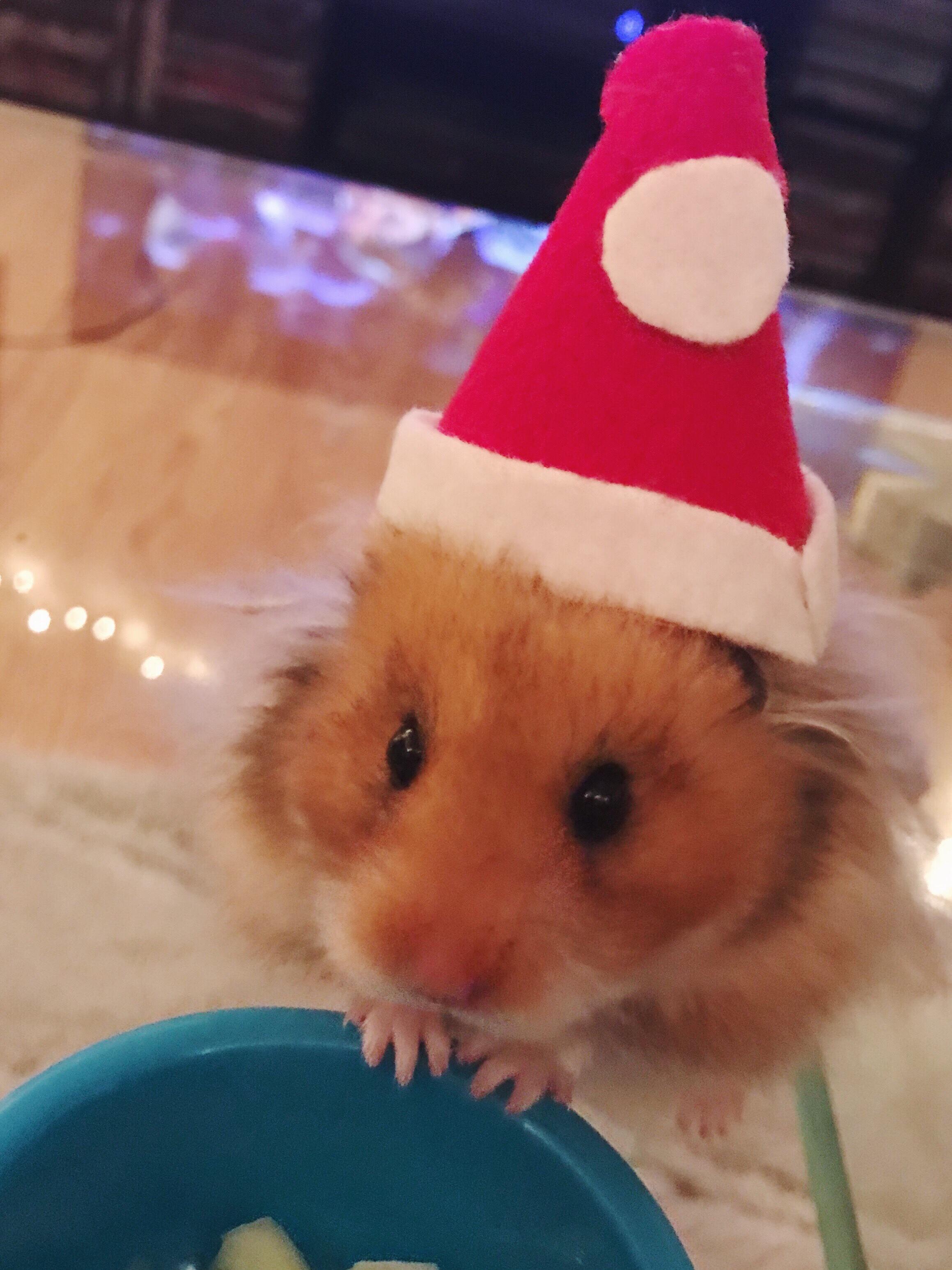 hamster santa hat