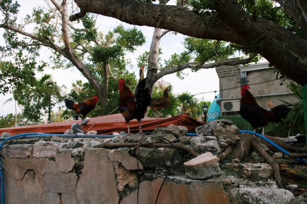 roosters key west